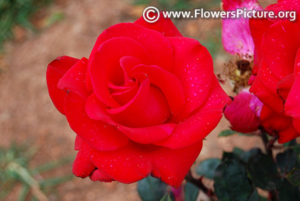 Raspberry red rose ooty