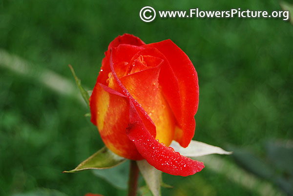 Red and yellow rose bud