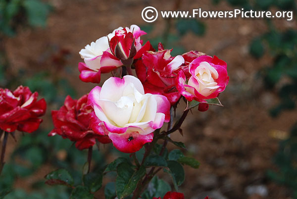 Red white miniature rose ooty