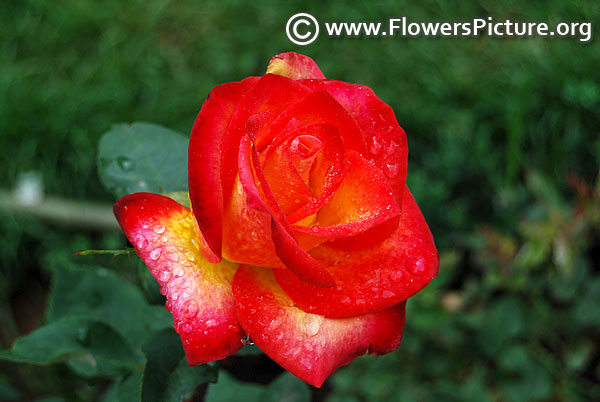 Red yellow bicolour rose ooty