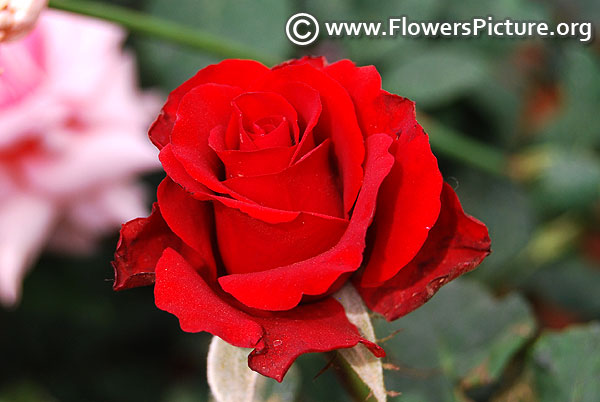 Remembrance red rose