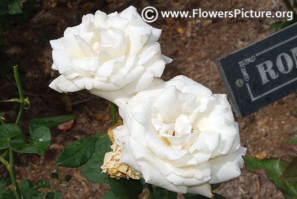 Romantica white rose