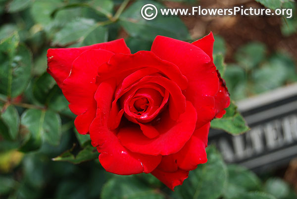Roxanne pallett hybrid tea rose