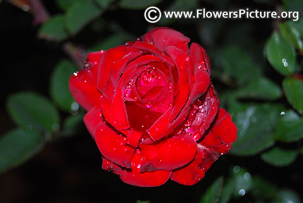 Royal william hybrid tea rose