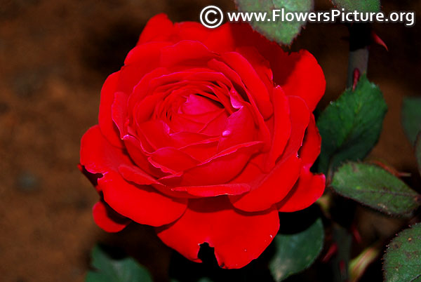 Ruby anniversary rose
