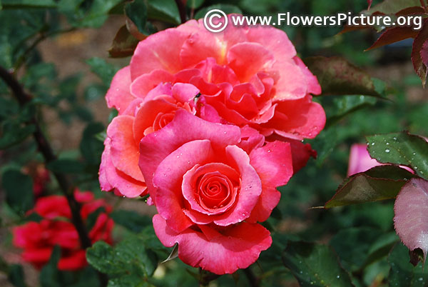 Salmon pink rose ooty 2017