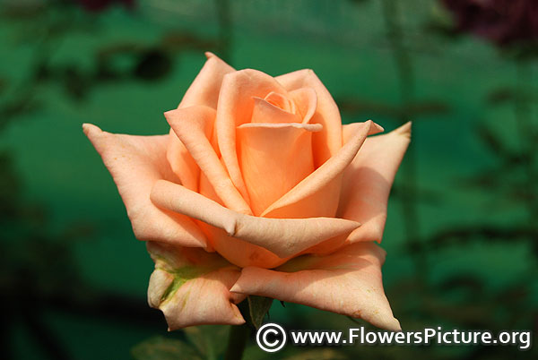 Scentsation hybrid tea rose