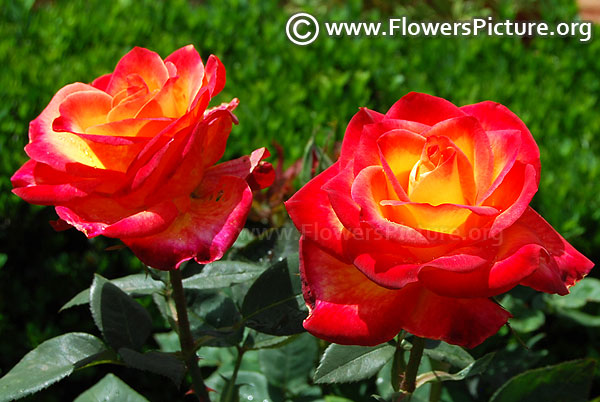 Tequila sunrise rose ooty
