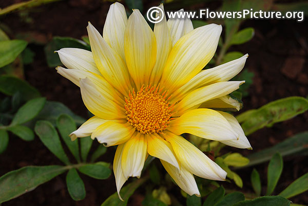 White and yellow gazania rigens