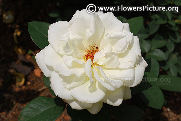 White dawn rose ooty