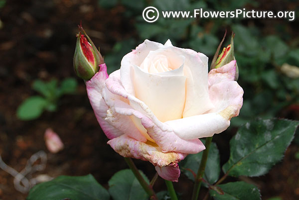 White pink bicolour rose ooty