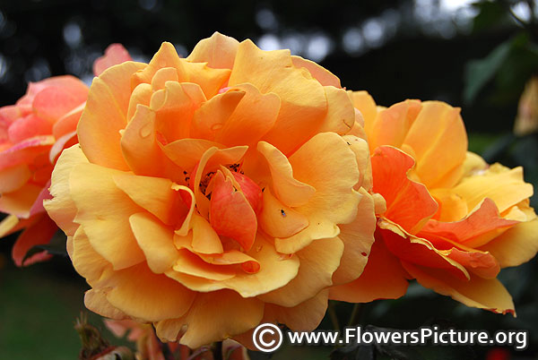 yellow and peach colour rose