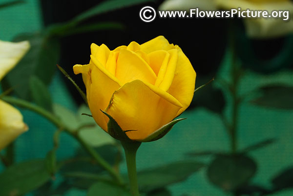 Yellow miniature rose ooty
