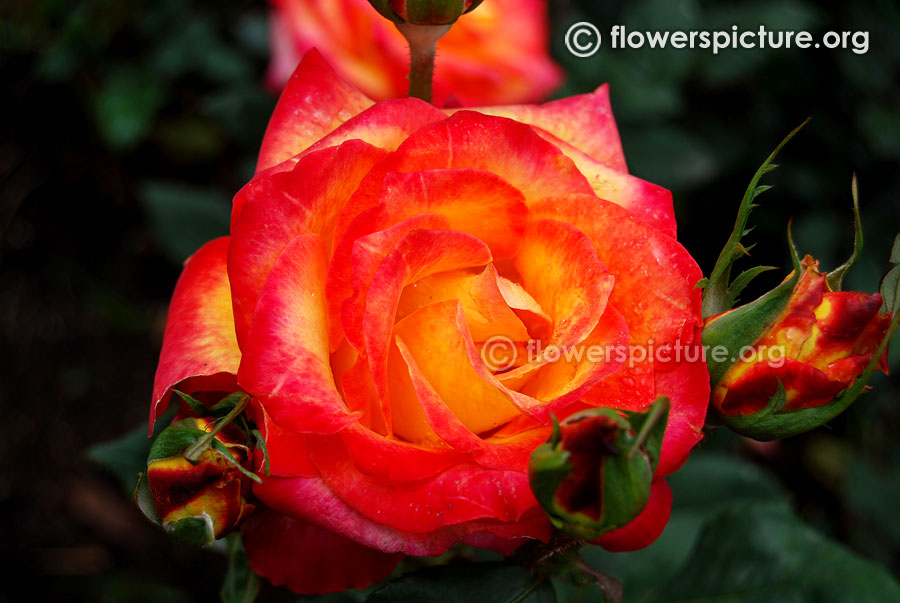 Bicolour yellow red rose ooty rose garden