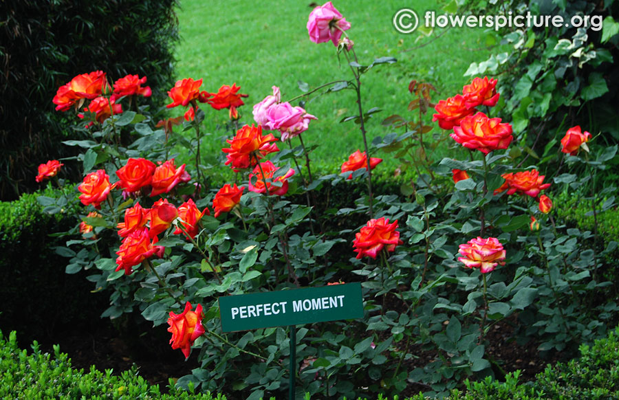 perfect moment rose bush ooty rose garden