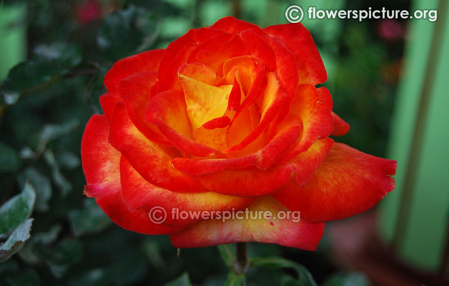 Red with yellow bicolour rose ooty rose garden