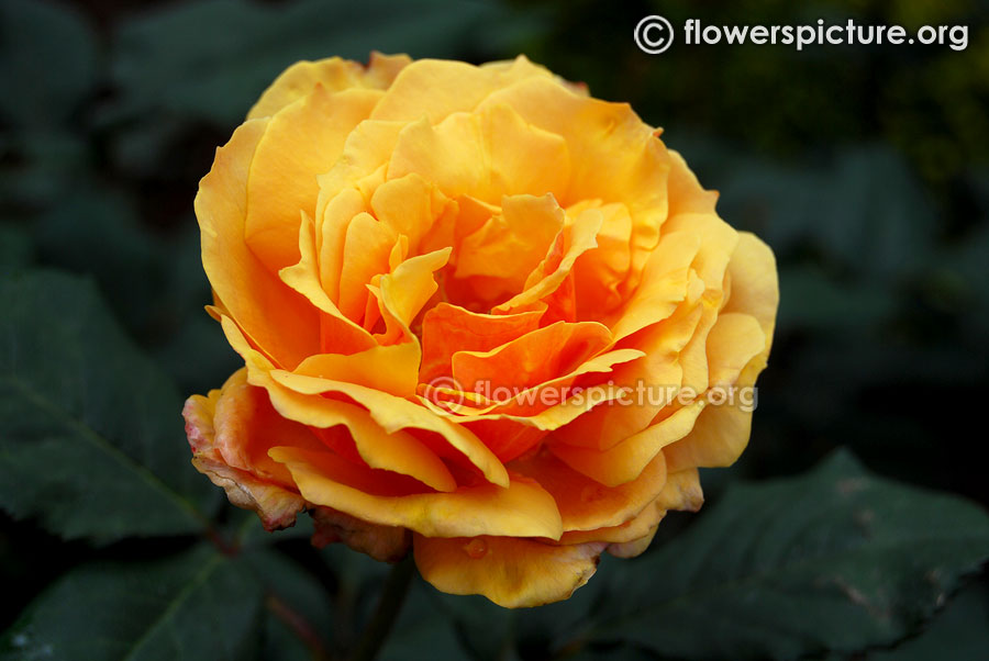Yellow with brown shaded rose from ooty rose garden