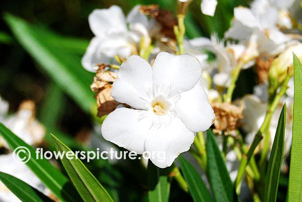 Nerium oleander white-Trichy butterfly park