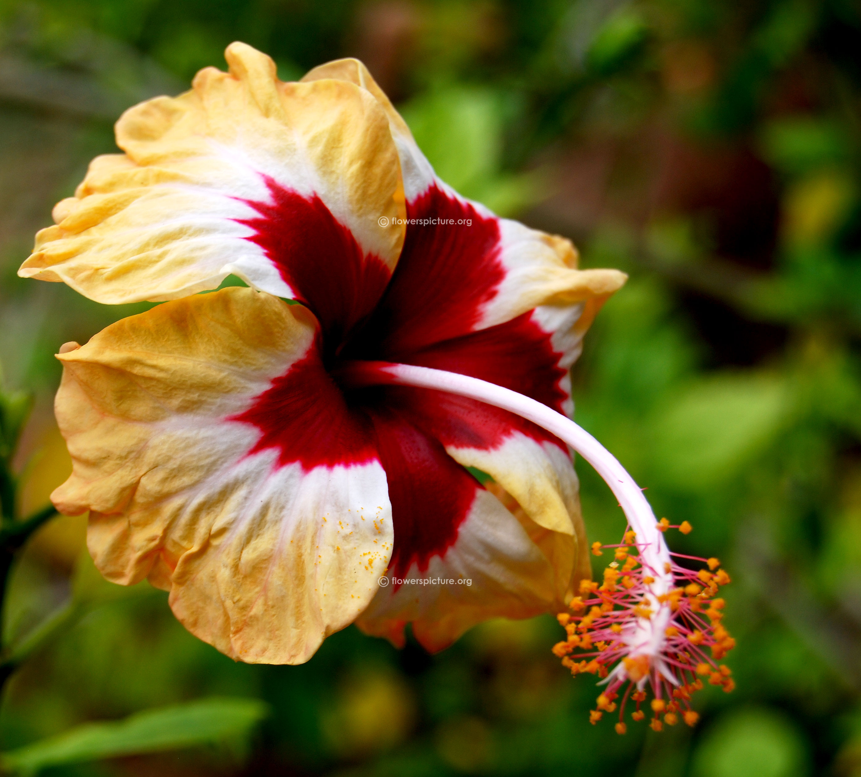 Hibiscus flower varieties hibiscus hybrid peach red white dhlflorist Image collections