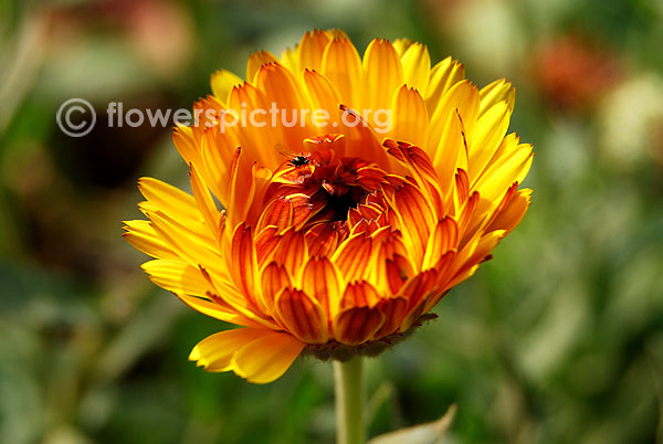 African daisy yellow