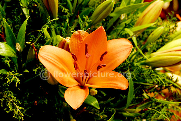Amaryllis Orange