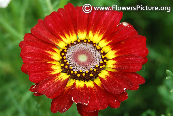 Annual Chrysanthemum Red Yellow