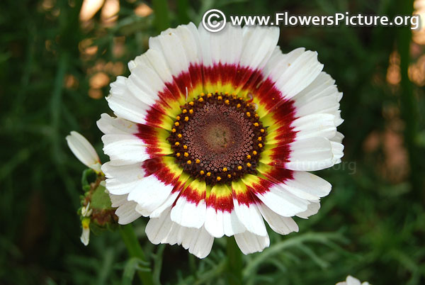 Annual Chrysanthemum White Red