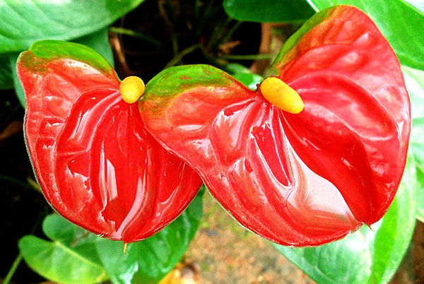 anthurium andraeanum red green
