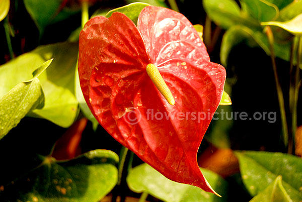 Anthurium andraeanum red single