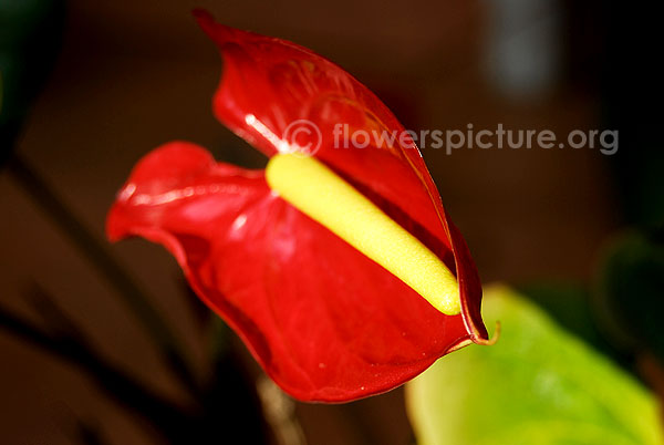 anthurium andraeanum red
