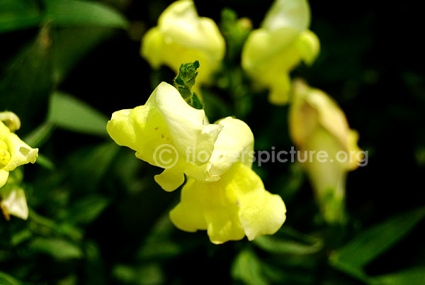 Antirrhinum Snap Dragon yellow