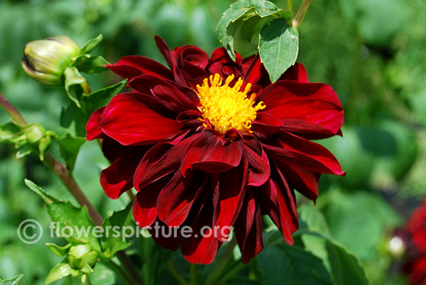 Arabian night dahlia