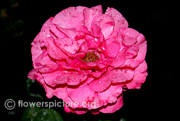Bad birnbach rose