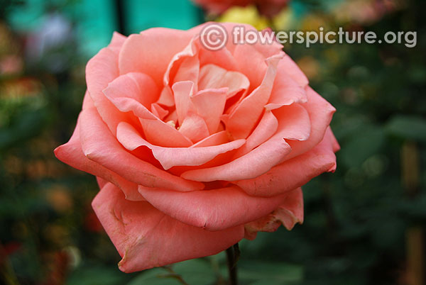 Blessings hybrid tea rose