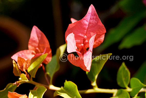 Bougainvillae red single
