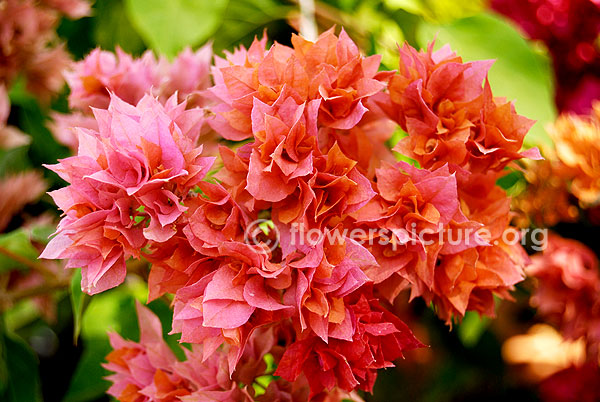 Bougainvillae Variegated orange with pink