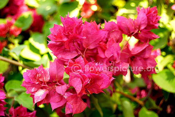 bougainvillae variegated purple