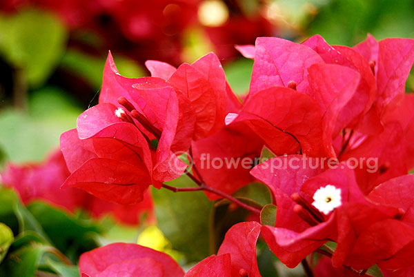 Bougainvillae Variegated red