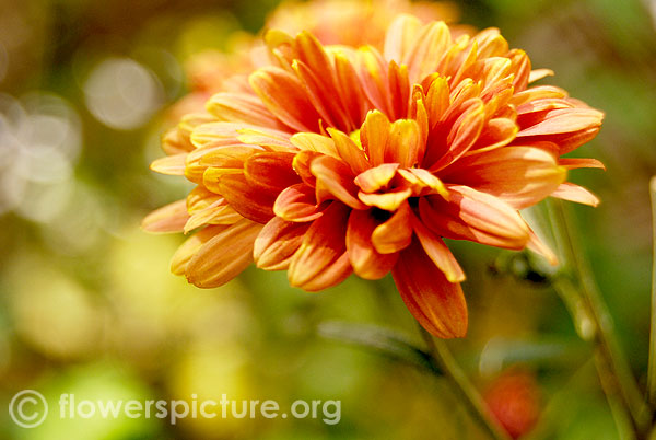 Brown chrysanthemum