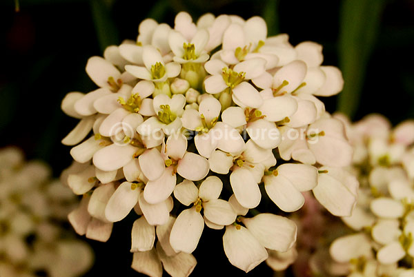 Candytuft White