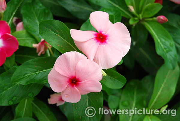 Catharanthus Roseus Pink Purple