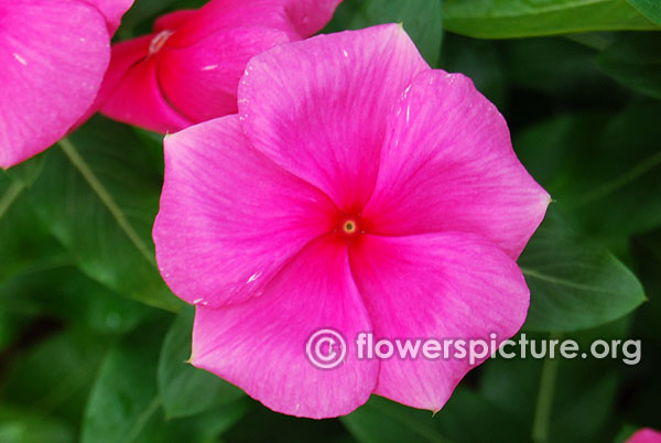 Catharanthus Roseus Pink Red