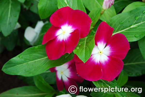 Catharanthus Roseus Purple White