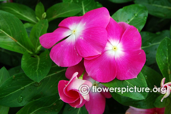 Catharanthus Roseus White Purple