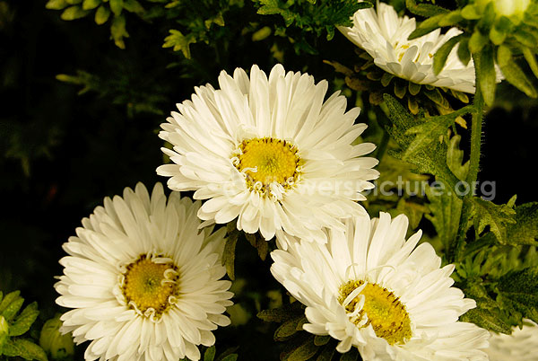 China Aster White