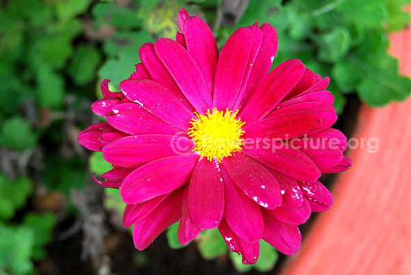 chrysanthemum deep pink