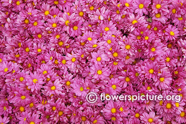 Chrysanthemum Pink Group