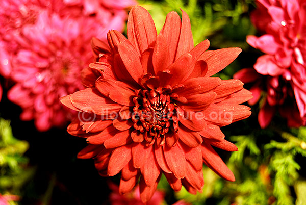 Chrysanthemum red orange