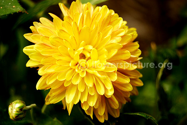 Chrysanthemum yellow red