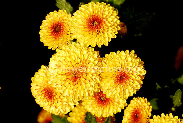 chrysanthemum yellow red fantasy